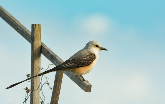 Scissor-tailed Flycatcher sitting on a stick against spring sky