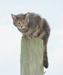 Blue tabby cat on top of a fence post, looking scared of something