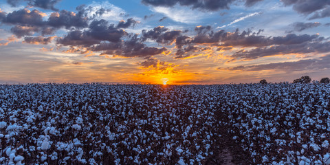 Sunset Over a Cotton Field