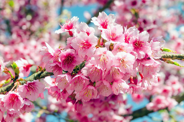 Japanese sakura cherry blossom with soft focus and vintage color