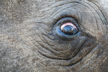 White Rhino eye during capture