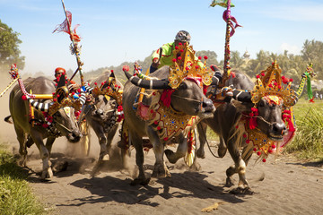 bali buffalo race in indonesia