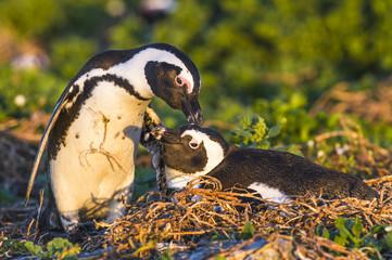 African Penguin preening partner on the nest