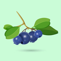 Blueberry with green leaf isolated on white. Botanical vector illustration