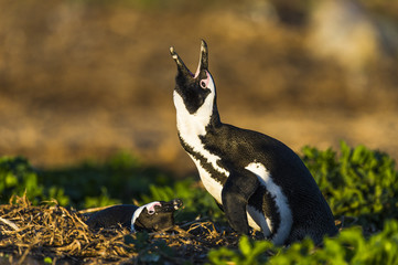 African Penguin braying while its partner incubates on the nest
