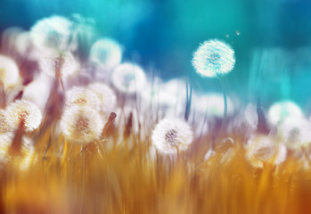 Easy air glowing dandelions with soft focus in grass summer sun morning outdoors close-up macro on blue gold background. Romantic dreamy artistic image. Desktop wallpapers, card.