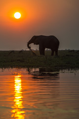 African elephant feeding on the banks of the Chobe River at dusk
