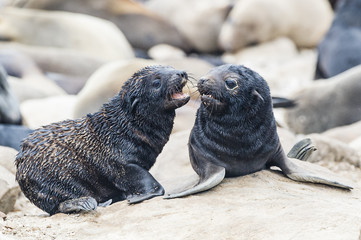 Cape Fur Seal pups play fighting