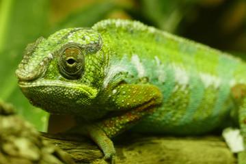 chameleon lizard
