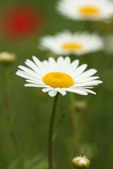 chamomile wild flower spring season