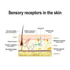 human sensory system in the skin.