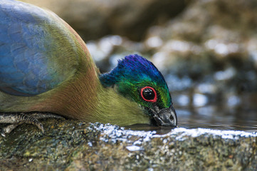 Purple Creasted Turaco