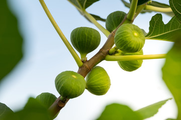 Green raw figs on the branch of a fig tree with morning sun light