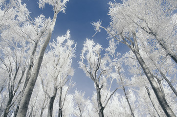 Winter woods landscape. Frozen trees in white forest on cold winter day against the clear blue sky