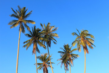 Coconut plam tree on blue sky background