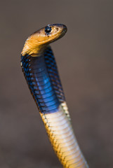 Juvenile Cape Cobra