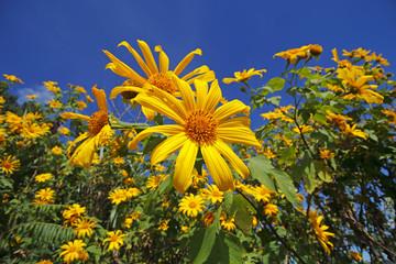 Tree marigold Mexican sunflower Weed Tithonia diversifolia