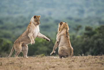Young lions playfighting