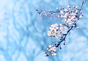 Spring cherry blossom on blue blurred background.