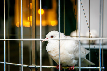 white dove, pigeon seats in a cage
