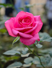 Pink rose in the garden