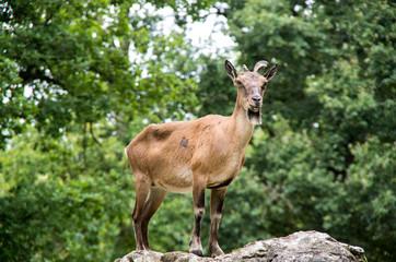 Chèvre sur un rocher