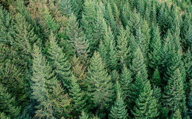 Fir forest view from above - beautiful nature of forest
