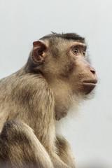 Printed roller blinds Monkey Laponder (Macaca nemestrina) aap uit Zuidoost-Azië aap uit Zuid