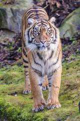 Wall Murals Tiger Sumatraanse tijger (Panthera tigris sumatrae)