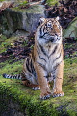 Aluminium Prints Tiger Sumatraanse tijger (Panthera tigris sumatrae)