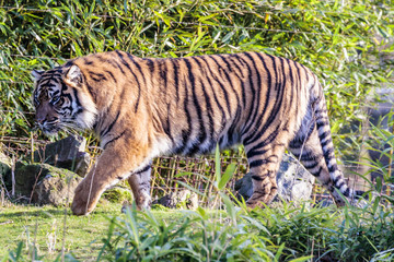 Canvas Prints Tiger Sumatraanse tijger (Panthera tigris sumatrae)