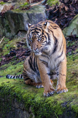 Acrylic Prints Tiger Sumatraanse tijger (Panthera tigris sumatrae)