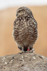 Photo Blinds Owl Steenuil (Athene noctua)