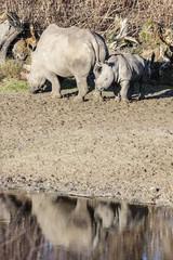 Foto auf Acrylglas Nashorn breedlipneushoorn met jong kalf