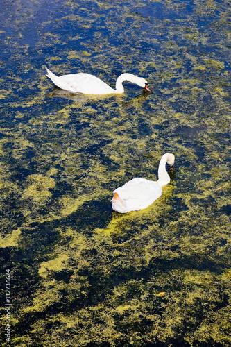 """Mute swan..."