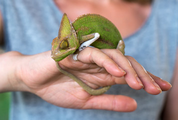 Woman holding chameleon in her hands.