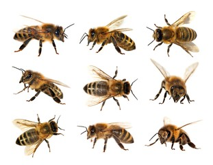 group of bee or honeybee, Apis Mellifera