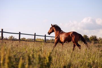 Bay horse walks in the paddock summer