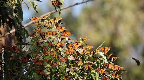 Monarch butterflies rest and fly in Pismo Beach Monarch grove