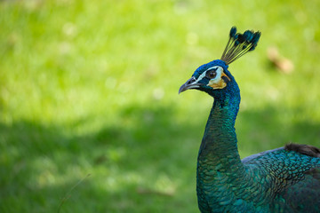A Green Peafowl (Pavo muticus), casts its shadow against a light green background. Copy-space to the left.