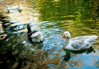 Two domestic geese in a pond