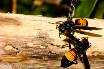 Two hornets strip bark from a tree branch. They work together perfectly with minimal communication. Copy space to the left.