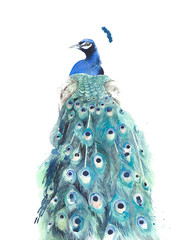 Peacock watercolor painting illustration isolated on white background