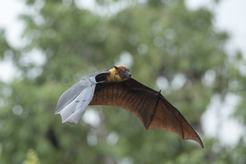 ฺBat flying in nature