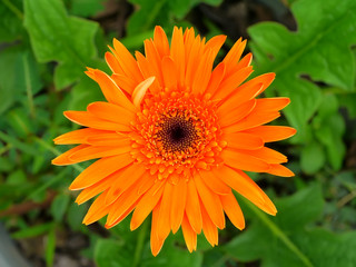 Orange gerbera daisy in the garden