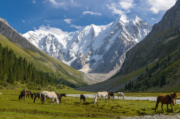 Wild horses on a sunny meadow in the mountains. Herd of horses grazing in picturesque mountains in Tian Shan mountain, Karakol, Kyrgyzstan, Jety-Oguz, Central Asia.