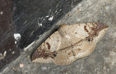 Butterfly at night, Moth in thailand that can be found in the rainy., The small moth perched on wall, Beautiful wing,