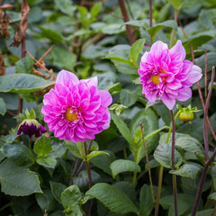 Dahlia pinnata in garden