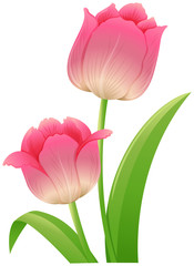 Pink tulip with green leaves