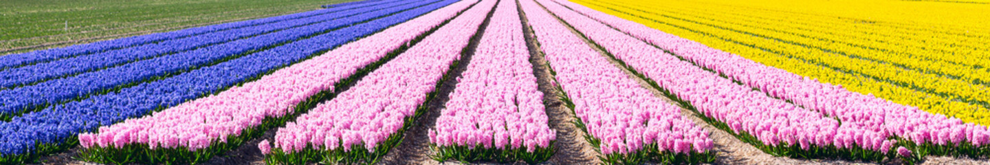 Typical Dutch spring flower panorama with colorful rows of Hyacinth and daffodil at the field in Holland